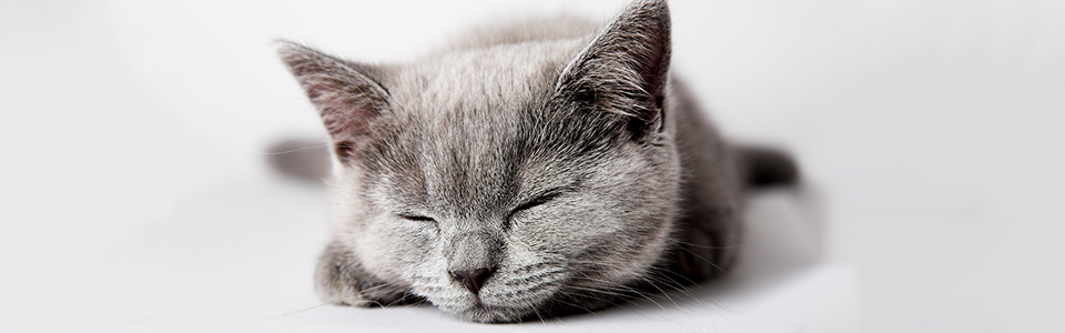 bigstock-British-kitten-isolated-on-the-28022240