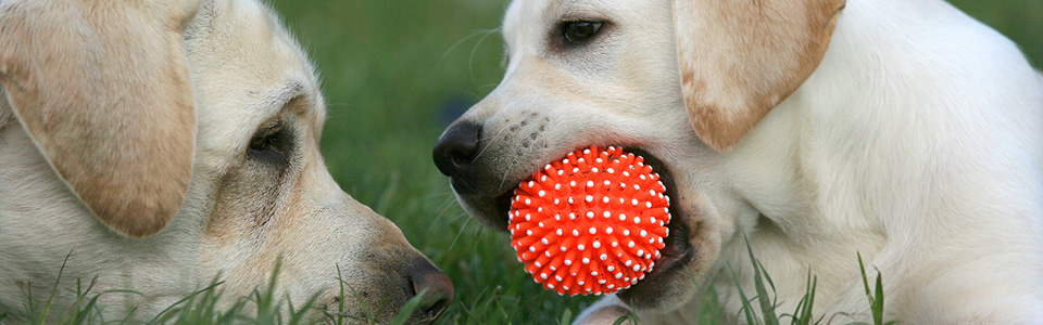 bigstock-Two-Labradors-Playing-With-A-B-32382926