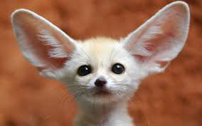 blog fennec fox