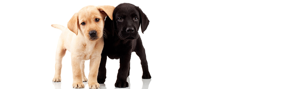 bigstock-Two-Cute-Labrador-Puppies-22233212